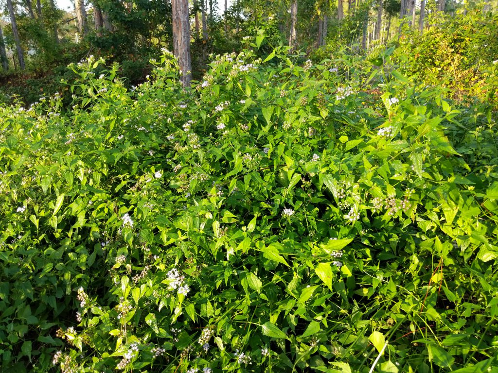 Mexican Dream Herb For Sale ready to ship
