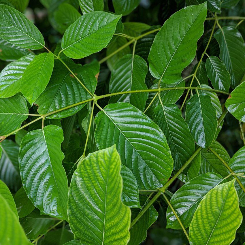 green fresh kratom leaf beautiful picture kratomleaf.us background