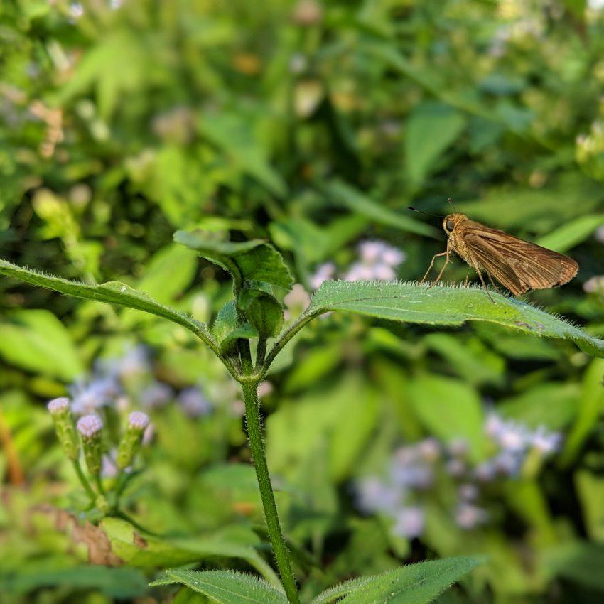 Moth Resting on a Mexican Dream Herb Leaf