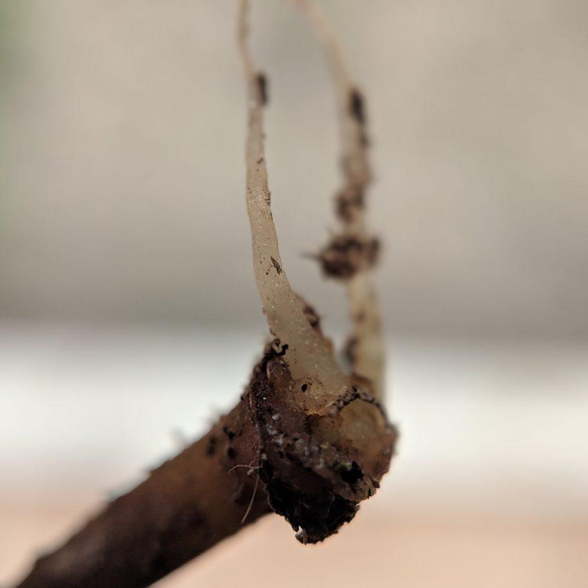 Rooted P. Viridis Cuttings
