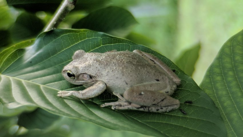 Froggy hanging on to a Kratom Tree in the shade