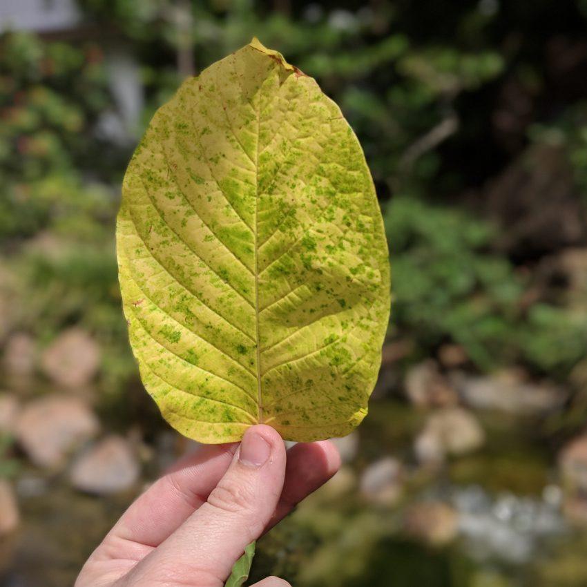 Maeng Da Thai Kratom leaf for sale freeship usa