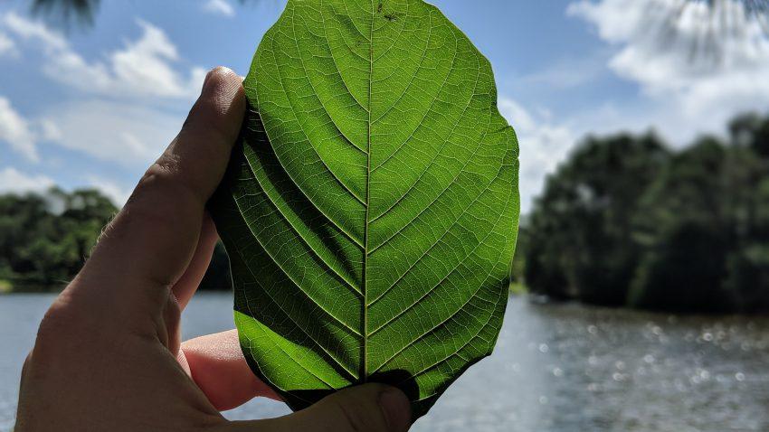 Buy Borneo Kratom Red Vein leaf local
