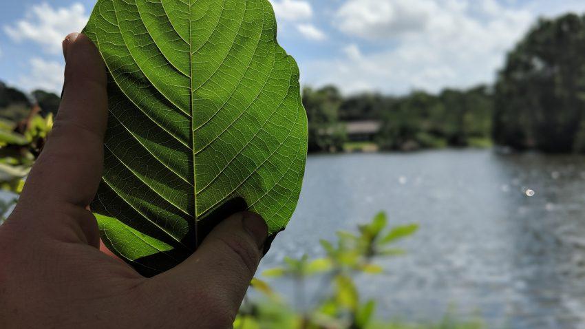 Buy Borneo Kratom Red Vein leaf whole sale