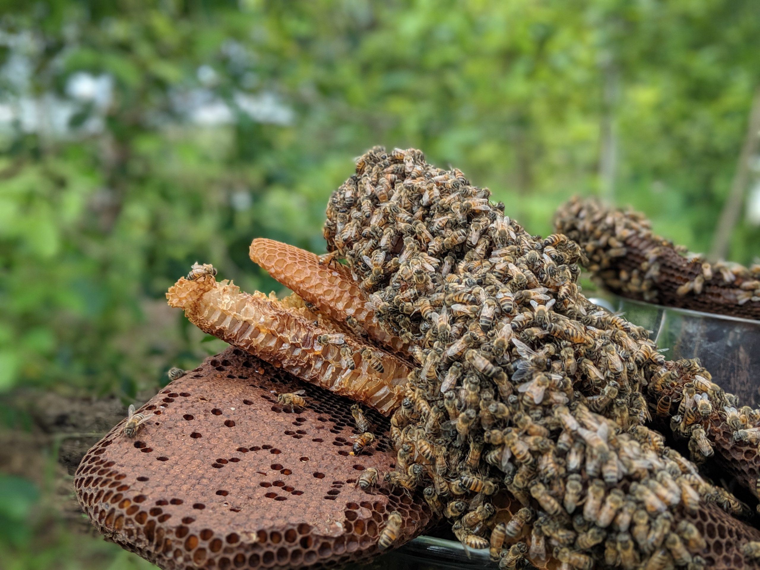 Bees on Kratom Honey Comb