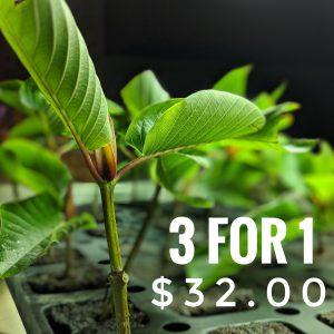 3 for 1 unrooted Kratom cuttings ad Kratomleaf.us