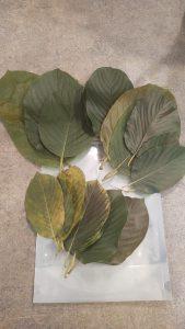 fresh kratom leaf mitra mike